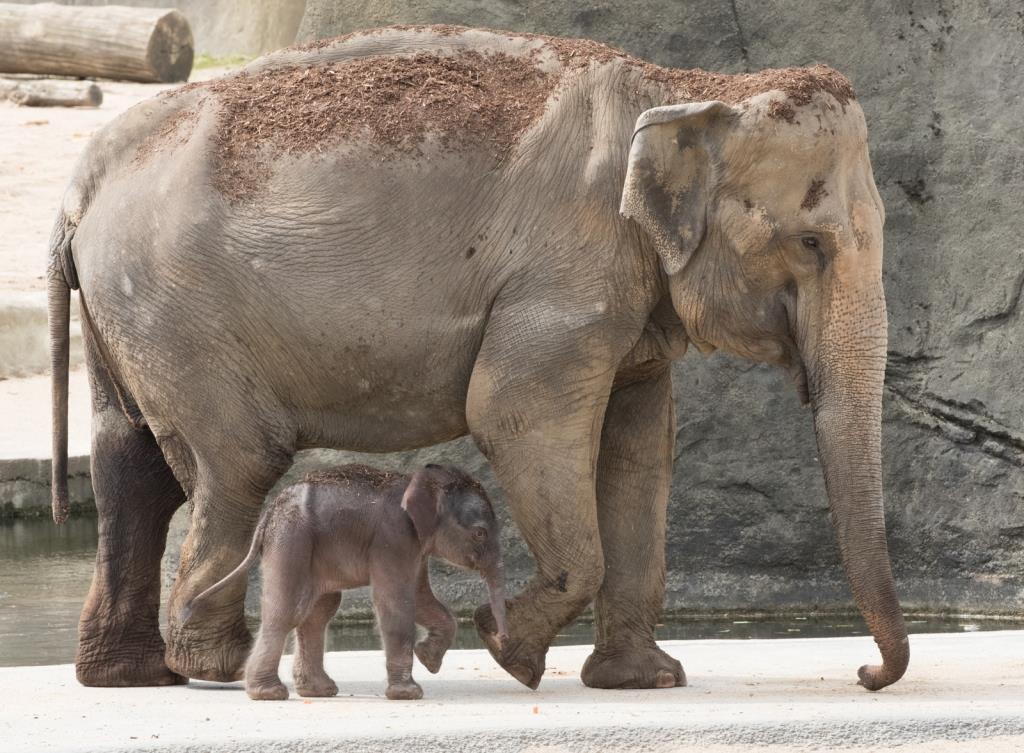 Der kleine Bulle bringt etwa 80 Kilo auf die Waage und ist rund 80 Zentimeter groß. - copyright: Werner Scheurer