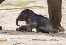 """Der kleine Elefant heißt """"Kitai"""", was übersetzt so viel wie """"Hoffungsvoller Herrscher"""" bedeutet. - copyright: Werner Scheurer"""