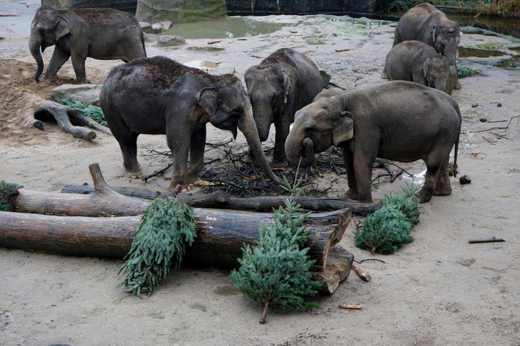 Eine weihnachtliche Überraschung gab es für die Elefanten im Kölner Zoo. copyright: Werner Scheurer / Kölner Zoo