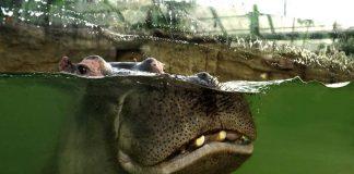 Im Kölner Zoo kann man ab sofort Flusspferde ganz nah erleben! copyright: Werner Scheurer