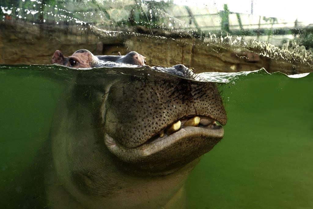 Im Kölner Zoo kann man ab sofort den Flusspferden ganz nah sein! copyright: Werner Scheurer