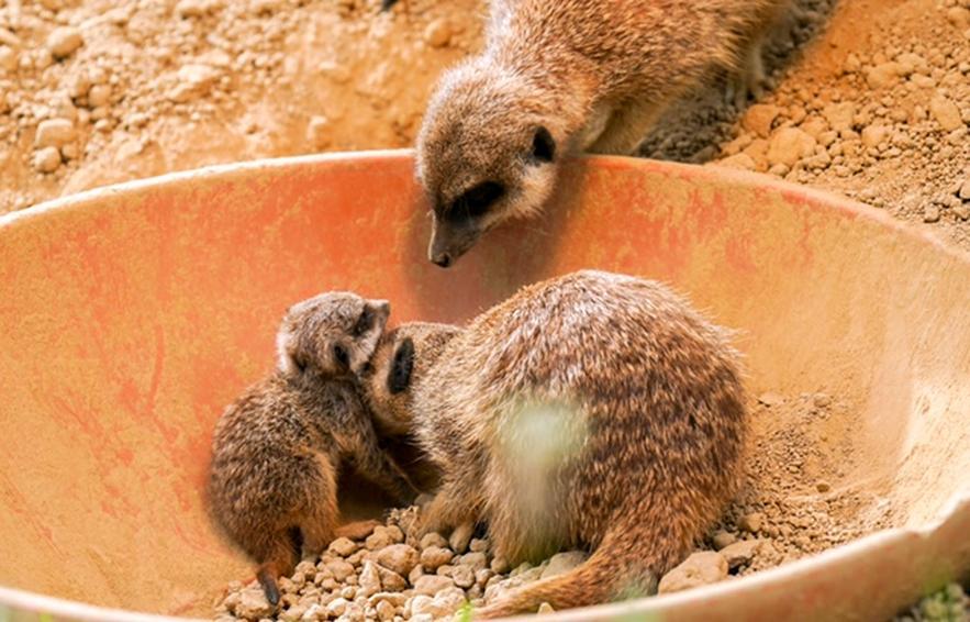 Die gesellige und tagaktive Mangustenart der Erdmännchen lebt in großen Familienclans. copyright: Kölner Zoo / Werner Scheurer