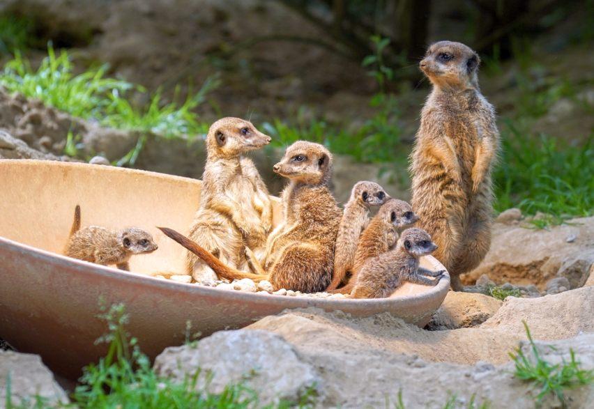 Vier Erdmännchen sorgen für Wirbel im Kölner Zoo copyright: Kölner Zoo / Werner Scheurer