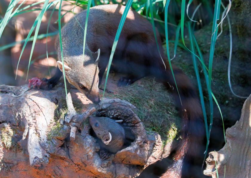 Ringelschwanzmungos sind Flexible Esser – und noch relativ unerforscht copyright: Kölner Zoo / Werner Scheurer