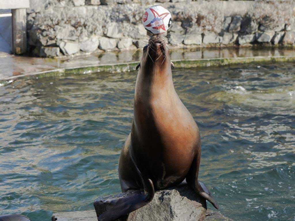 Astrid aus dem Kölner Zoo orakelt die Spiele der Handball-WM. copyright: Werner Scheurer / Kölner Zoo