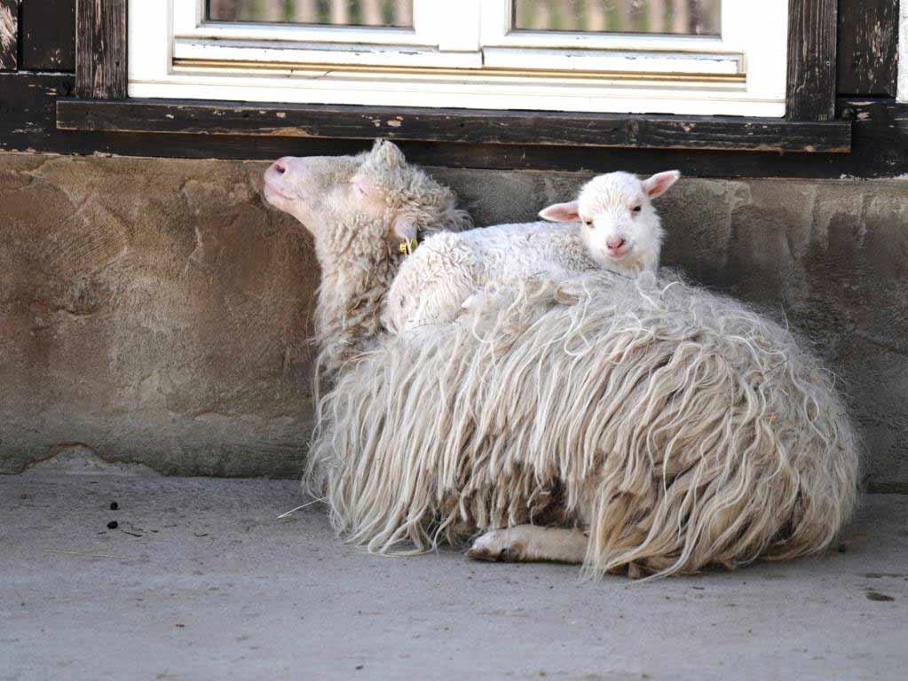 Passend zum Osterfest wimmelt es auf dem Clemenshof im Kölner Zoo nur so vor Jungtieren. copyright: Kölner Zoo / Werner Scheurer