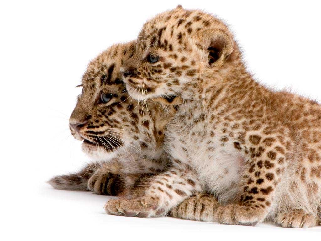 Persische Leoparden sind stark gefährdet. copyright: Envato / Lifeonwhite