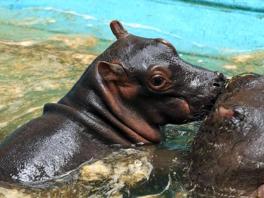 Flusspferd im Kölner Zoo geboren: Nachwuchs im Hippodom copyright: Kölner Zoo