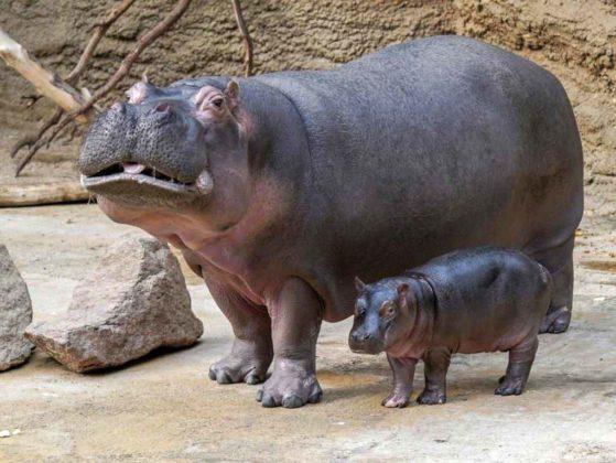 Baby Nilpferd