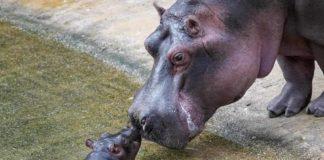 Flusspferd-Baby ist der Star im Kölner Zoo: Hier erstes Video und Bilder! copyright: Werner Scheurer / Kölner Zoo