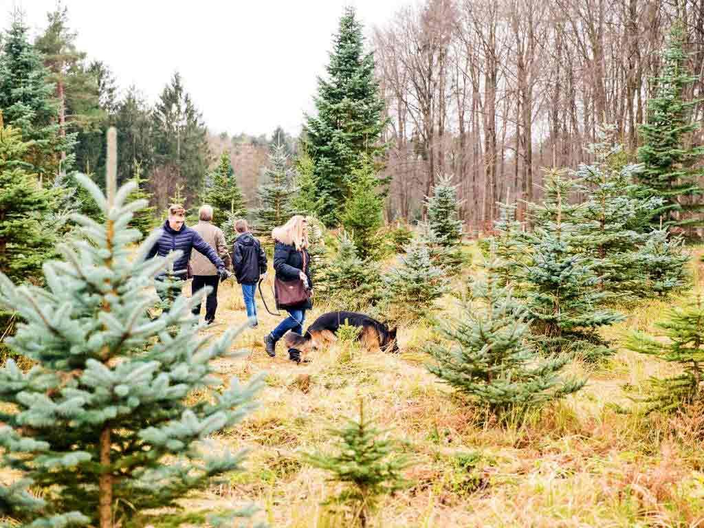 Am 3. Adventswochenende darf man sich Weihnachtsbäume selbst aussuchen und schlagen. copyright: Beller Hof