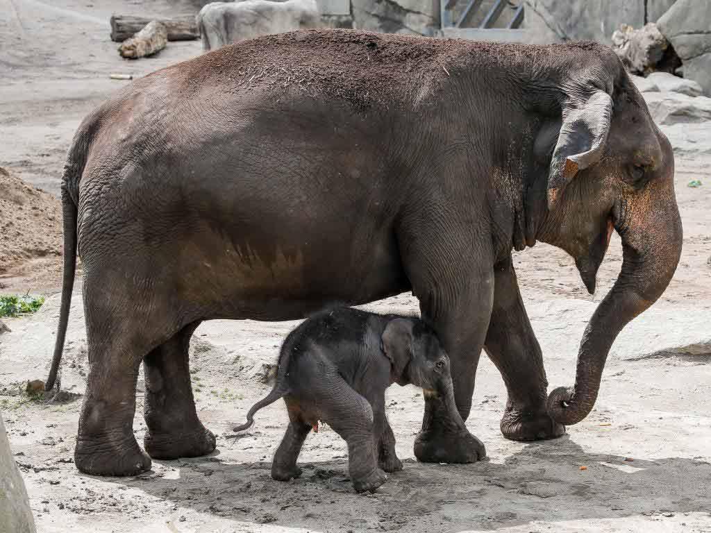 """Die 25-jährige """"Shu Thu Zar"""", brachte diese Nacht das weibliche Elefanten-Kalb in Köln zur Welt. copyright: Kölner Zoo / Werner Scheurer"""