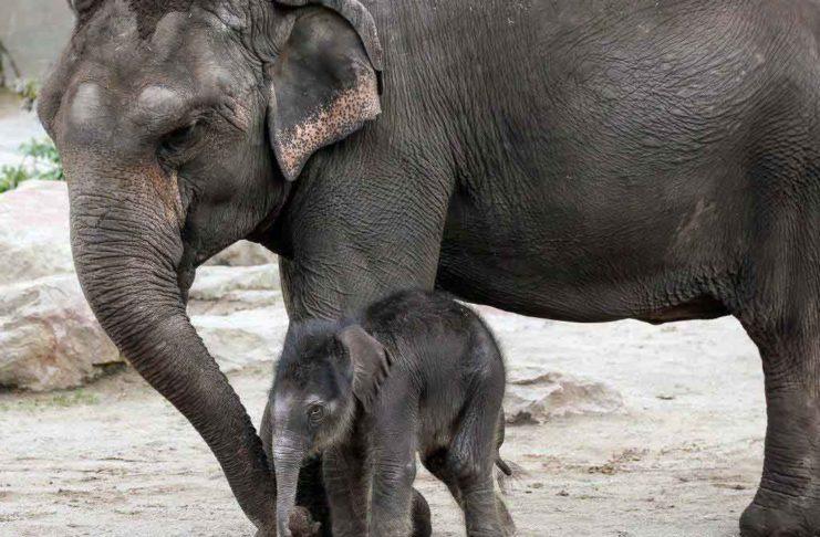 Im Kölner Zoo hat es Nachwuchs bei den Elefanten gegeben. copyright: Kölner Zoo / Werner Scheurer