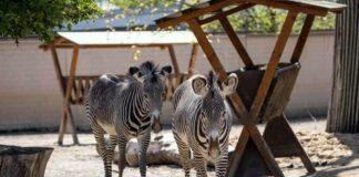 Auf Streife(n): Neue Grévy-Zebra-Anlage im Kölner Zoo