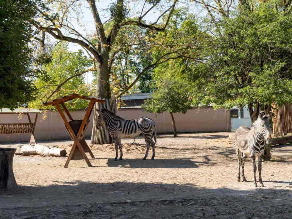 Das Grévy-Zebra ist die größte Wildpferdart der Welt